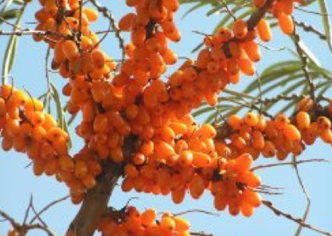 HippoREAL 산자나무열매추출물
