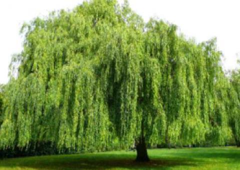 WillowREAL 화이트윌로우껍질추출물