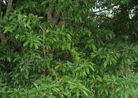Lindera erythrocarpa  비목나무추출물