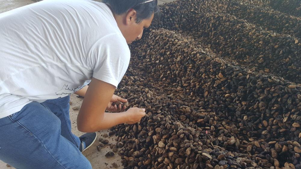 Brazil nuts in Peru 2017