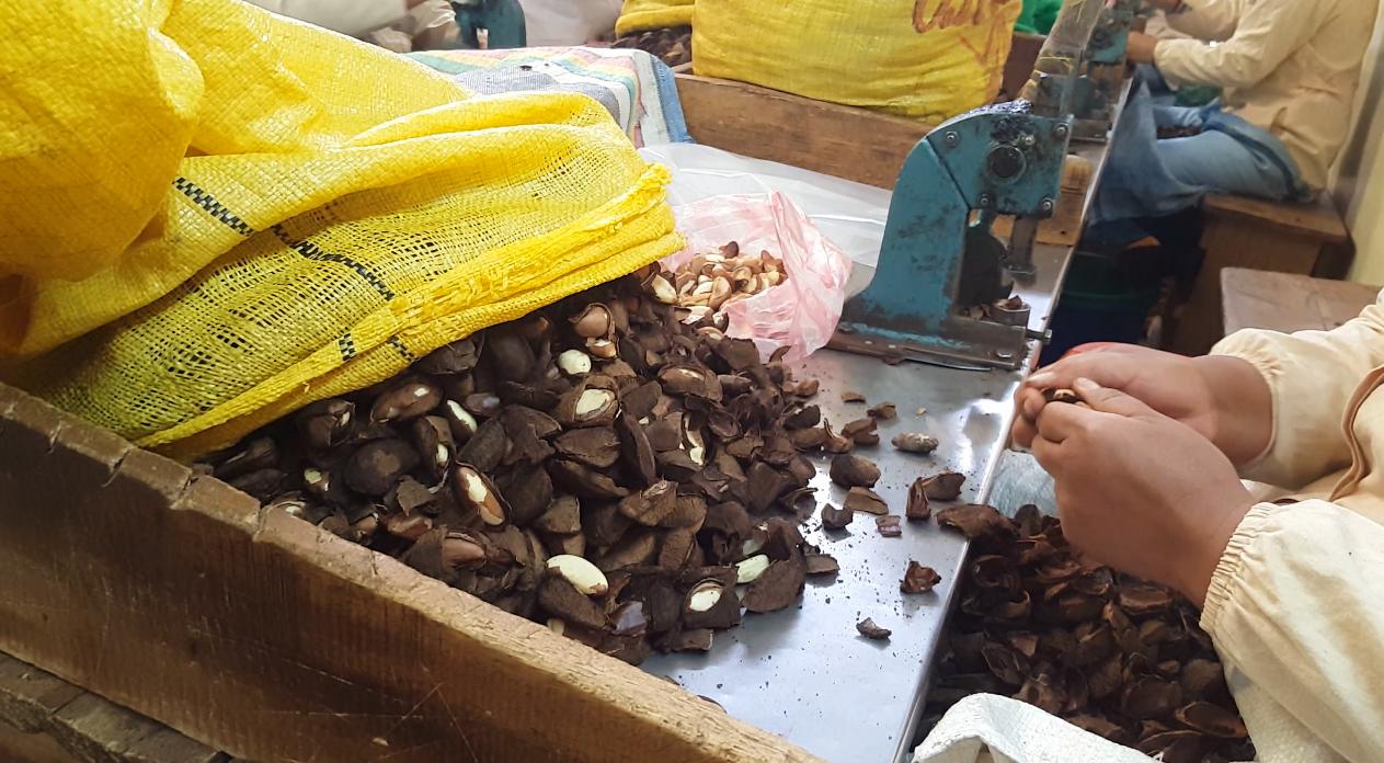 Brazil nuts in Bolivia 2017