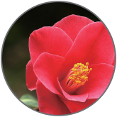 Lysate Camellia Extract