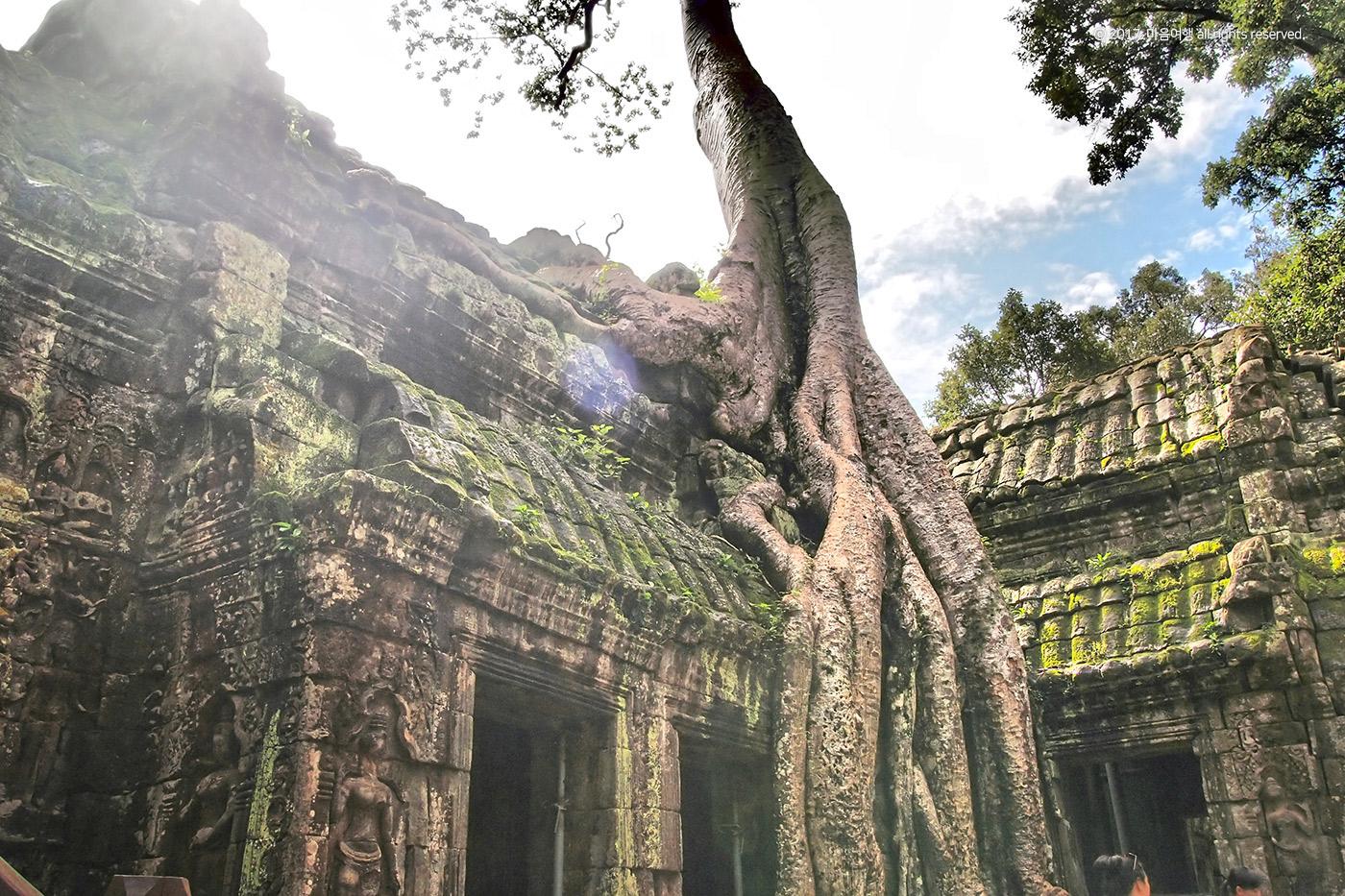 이엥나무가 뿌리내린 타프롬 사원