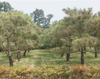 대가족목 - 소나무
