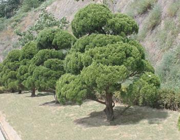 공동목 - 향나무