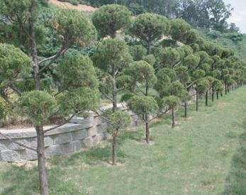 부부목 - 향나무