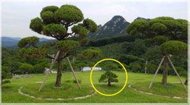 수목종류 : 분재목