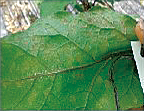 <strong>Treatment of leaf mold<br> (250 times dilution x one-time application)</strong>