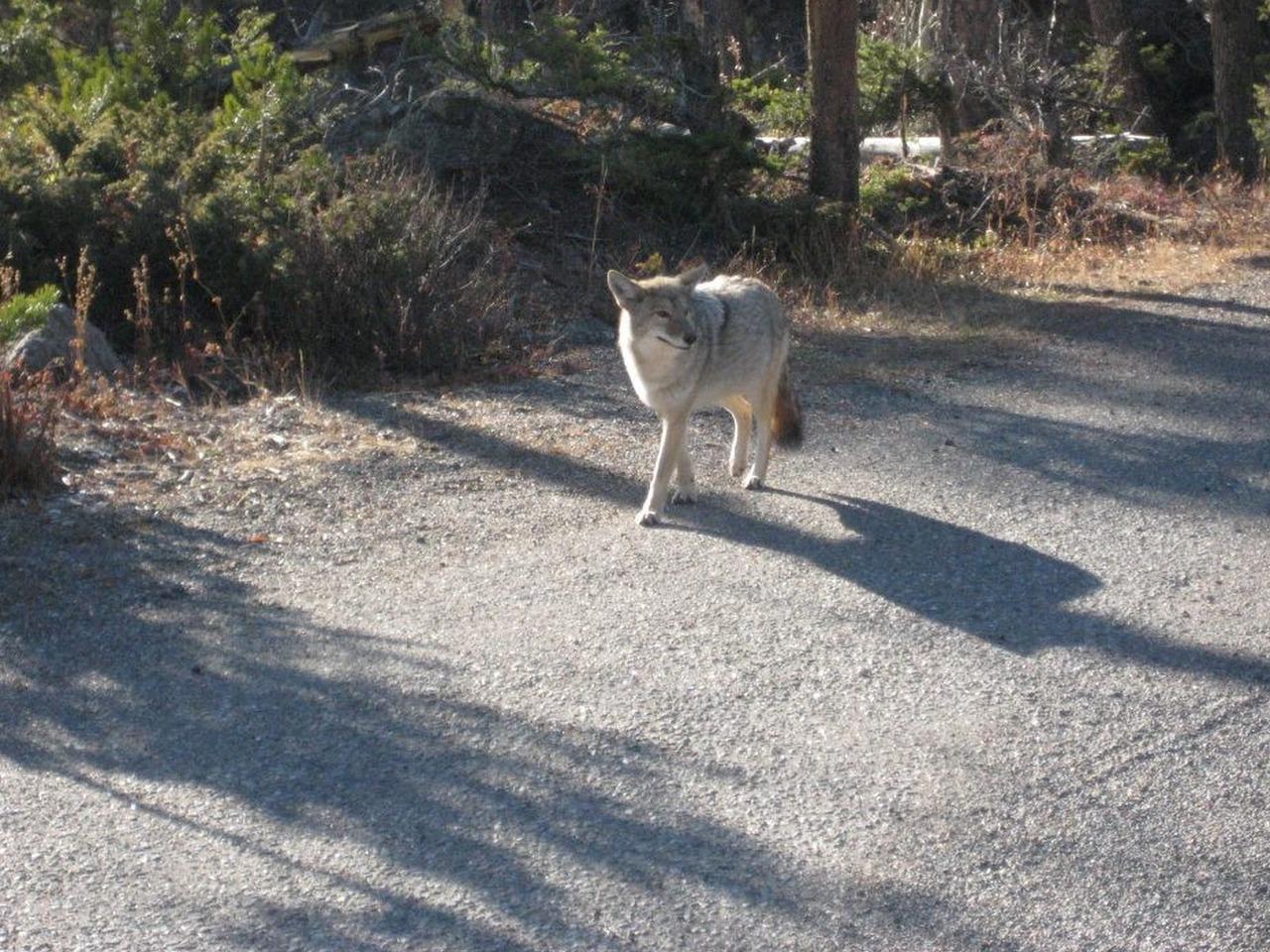 몬태나의 흔한 야생 늑대
