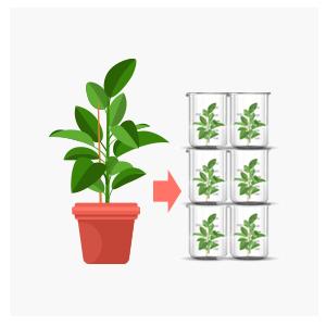 无病植物体批量生产