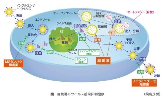 3. 마황탕의 과학적 작용기전, 마황탕의 바이러스 감염 억제기전은 다음과 같습니다.
