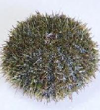 hemicentrotus pulcherrimus 말똥성게