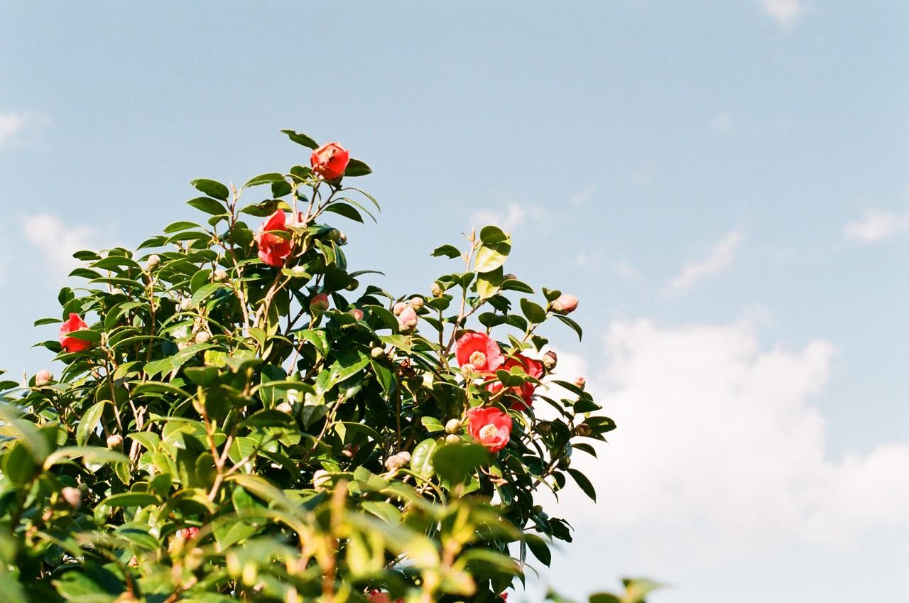#8. 장사도의 다른 이름은 <카멜리아 해상공원>. 통영의 상징 동백꽃이 가장 아름답게 피는 장소가 바로 여기다. 겨울부터 이른 봄까지 피어나고 떨어지는 붉은 꽃. 절정은 1월부터 2월까지.