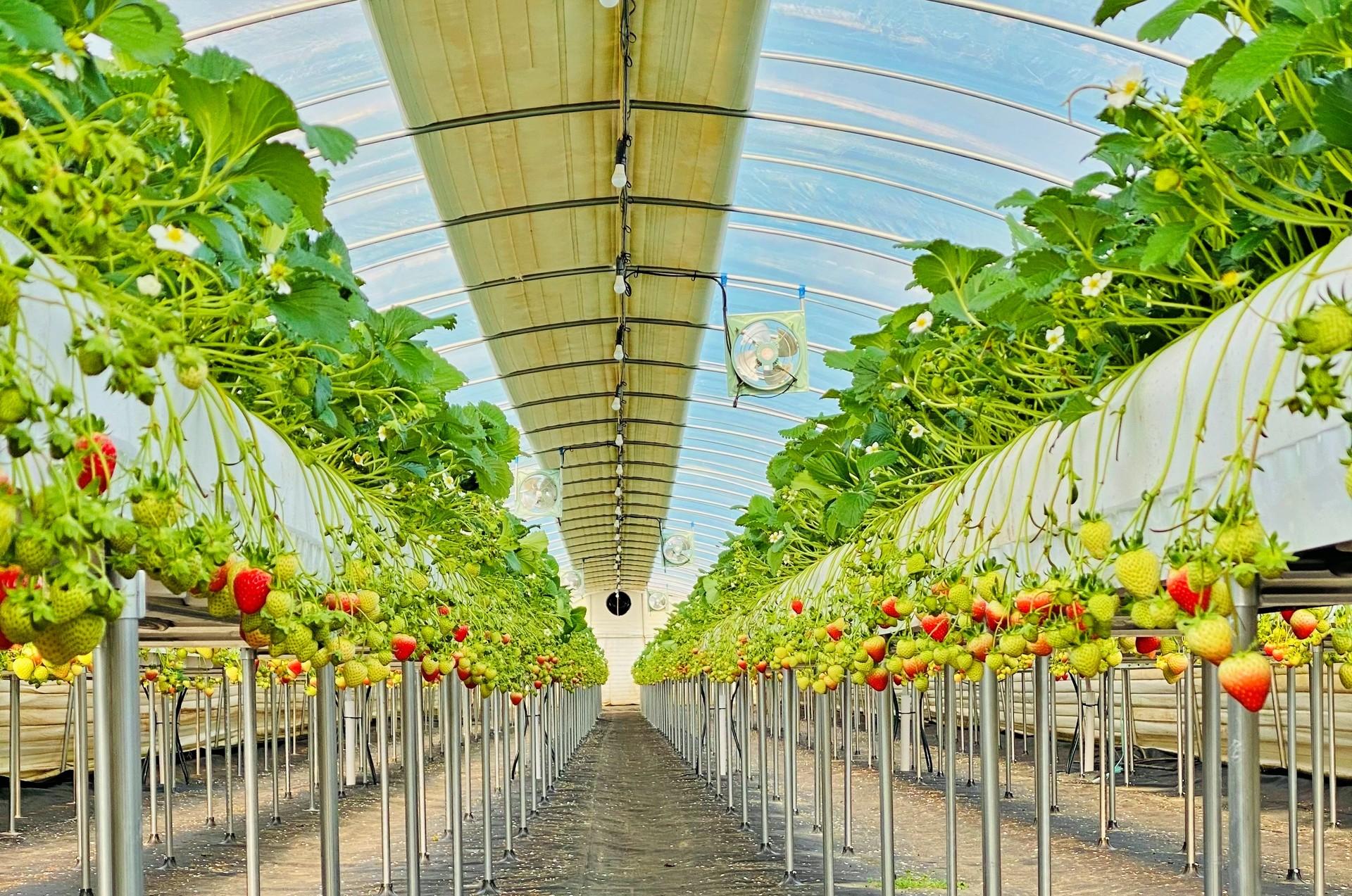 딸기나무에서 운영하는 '용배랜드딸기체험농장' 입니다.