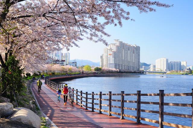 수영강 벚꽃길