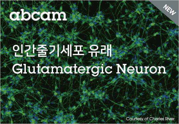 즉시 배양 가능한 Glutamatergic neuron