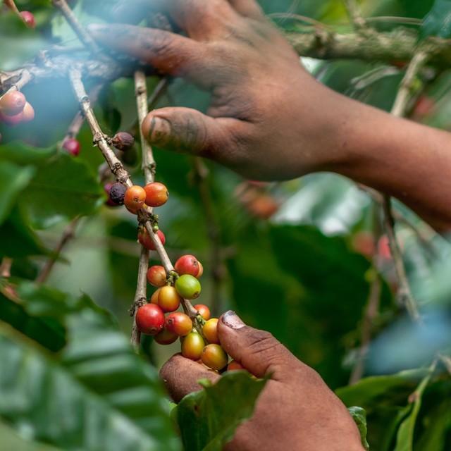 콜롬비아 유기농 '타타마' 커피