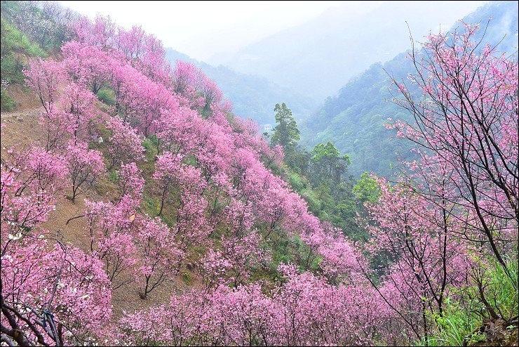 三層坪櫻花