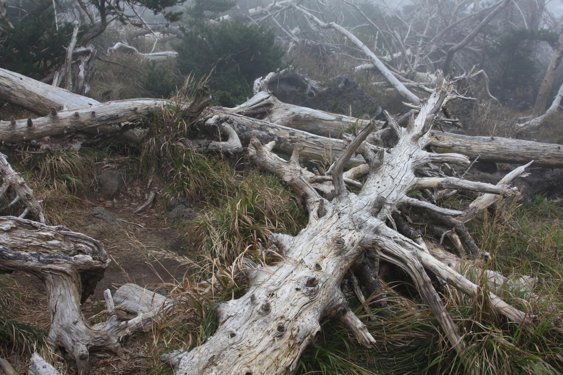 기후위기에 따른 고산 지대 칩엽수 떼죽음의 현장