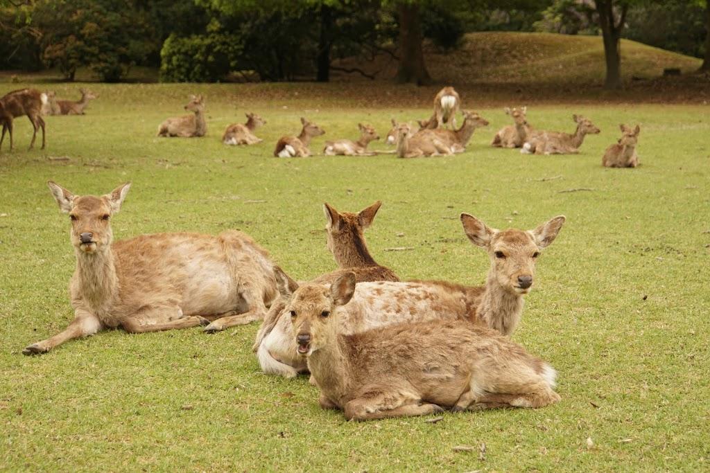 나라현 나라공원 사슴