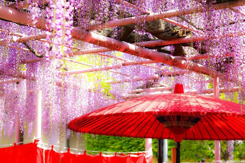 등나무 축제