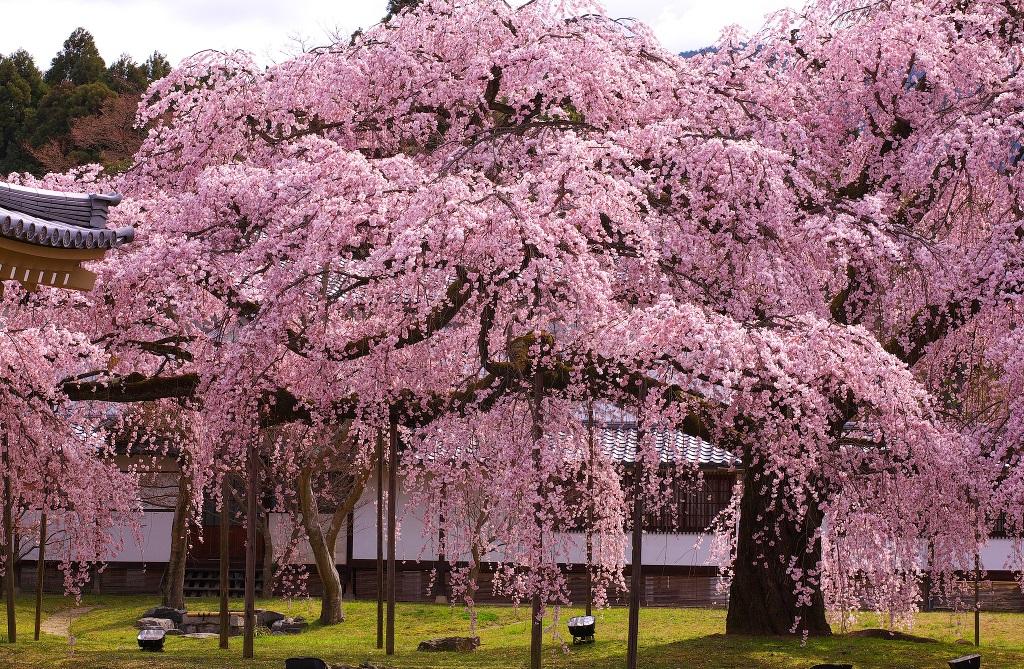 교토 다이고지 벚꽃