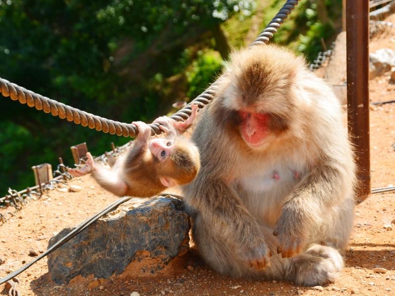 일본 원숭이