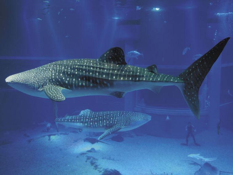 일본 고래상어