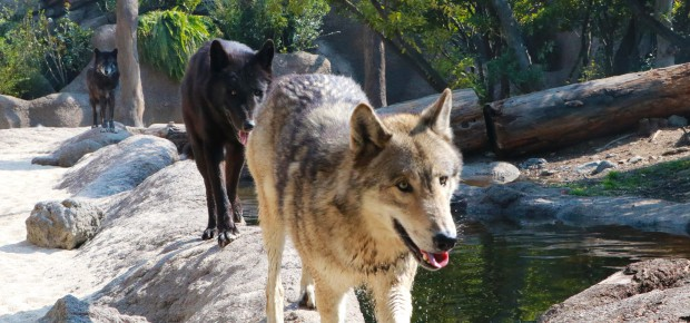 일본 늑대