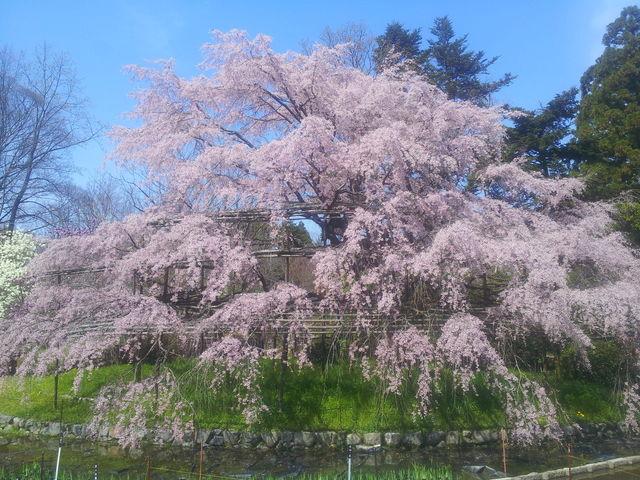 교토 벚꽃명소