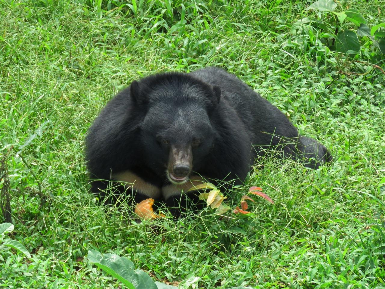 편안한 포즈로 먹이활동 중인 반달가슴곰