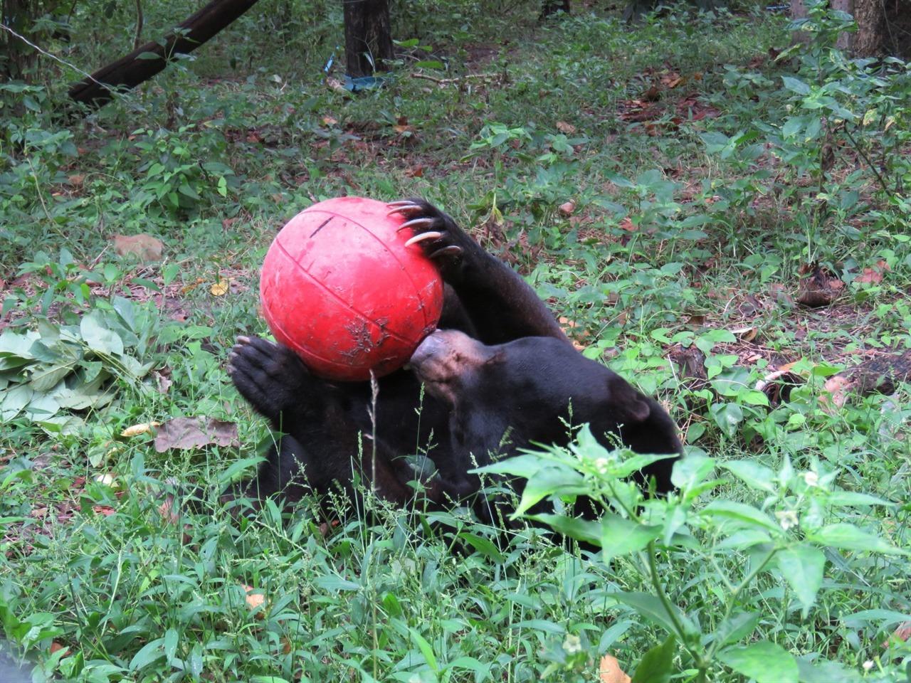 공을 이리저리 굴리며 간식을 빼먹는 태양곰