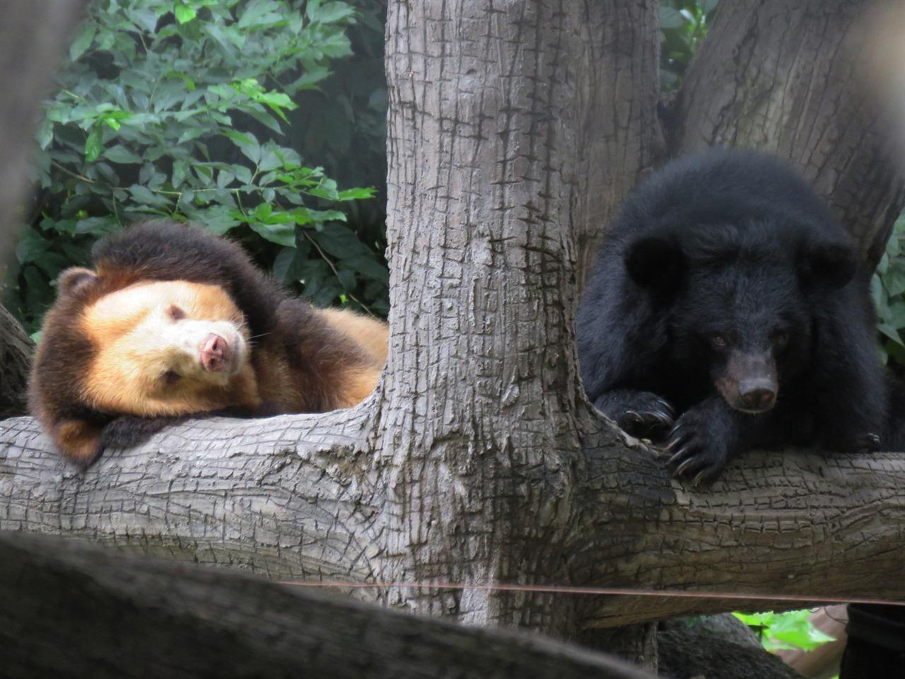사자처럼 생겨서 유명해진 반달곰(좌)