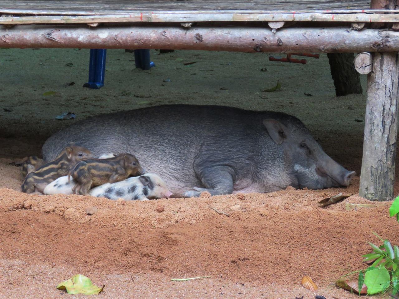 동물공원 어느 평상 아래에 있던 어미돼지와 새끼들