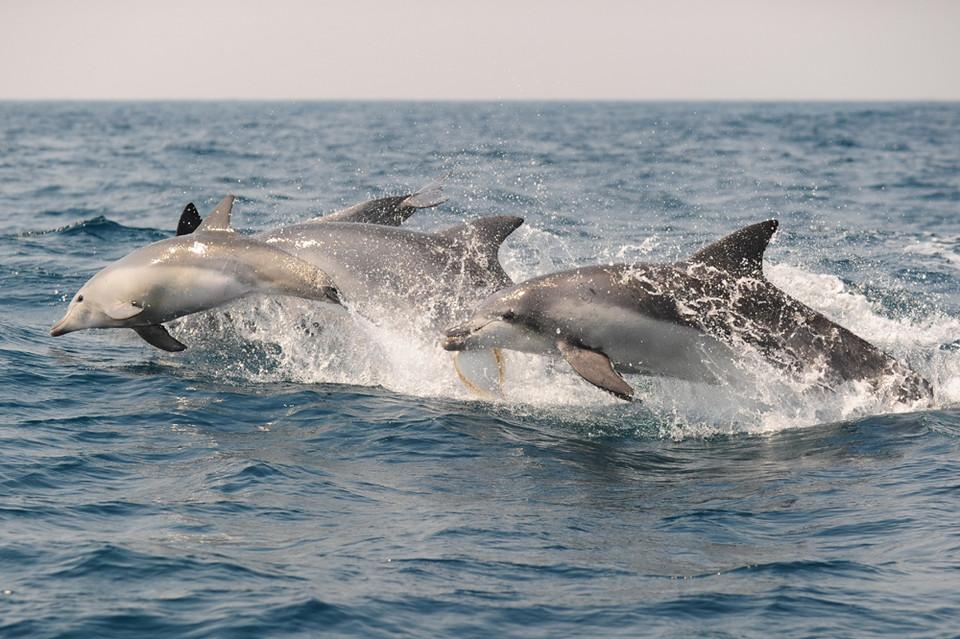 제주연안에 서식하는 남방큰돌고래(사진=고래연구소 제공)